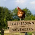 featherdown-glamping-chicken-on-fence