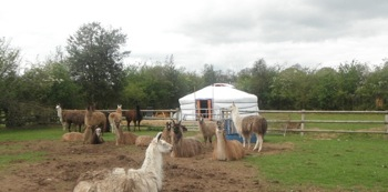 glamping-west-midlands-with-hot-tub-yurt-and-llamas-s