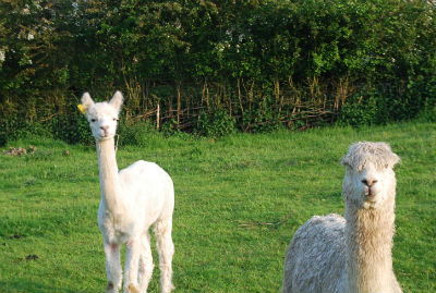 glamping-sussex-near-brighton-elsies-hut-dave-and-peper-alpacas