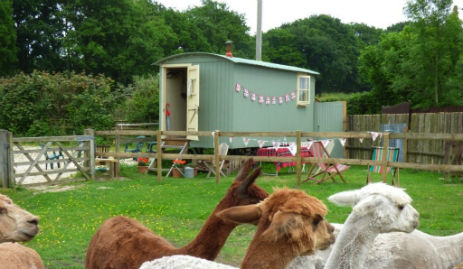 glamping-dorset-the-longhouse-shepherds-hut-with-alpacas