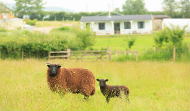 glamping-somerset-with-hot-tub-middle-stone-farm-sheep