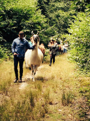 Glamping-Sussex-Bluecap-Farm-Alpaca-Walk-s