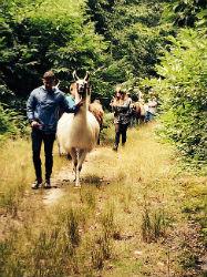 Glamping-Sussex-Bluecap-Farm-Alpaca-Walk-s