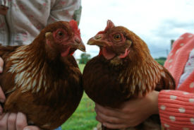 glamping-leicestershire-the-dandelion-hideaway-hens