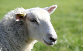 glamping-devon-lower-keats-farm-sheep-s