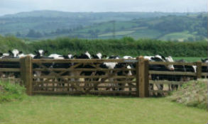 glamping-wales-kidwelly-farm-safari-tents-cows-s